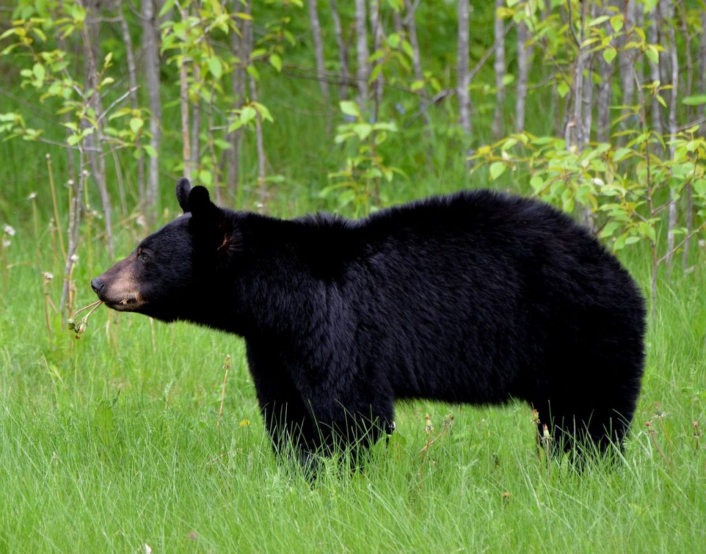 Photo of black bear standing in grass