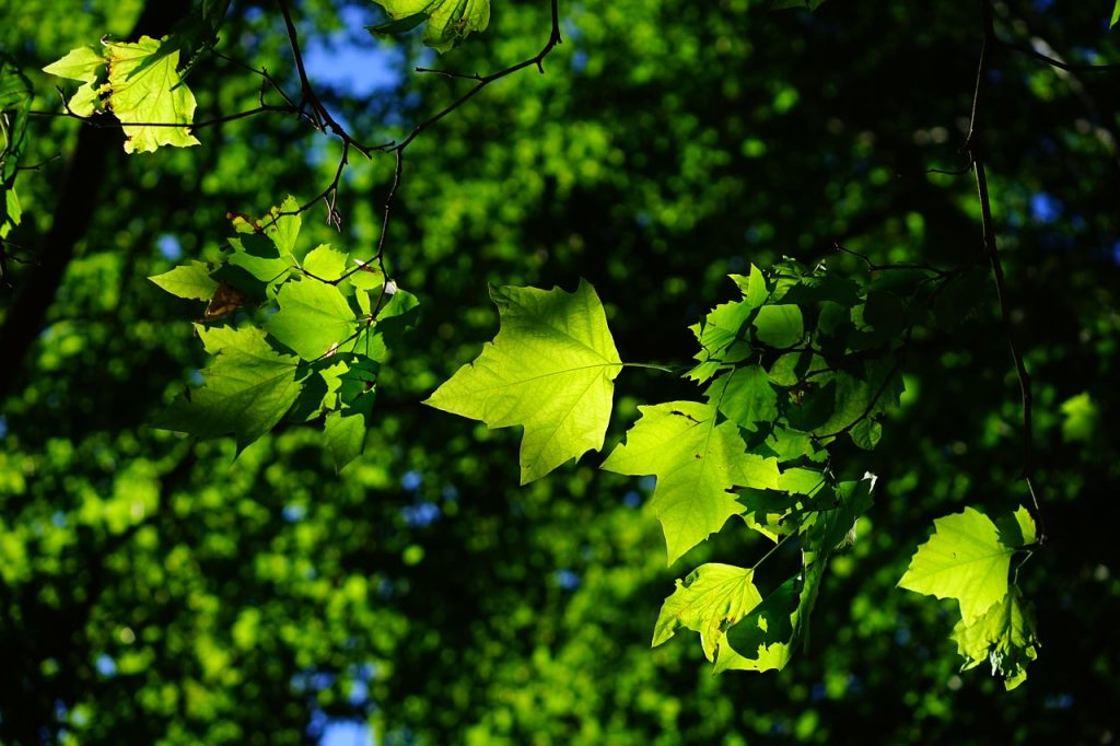 Photo of green maple leaves in dappled sunlight